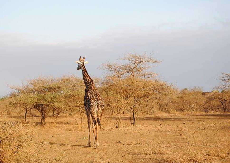 safari na lua de mel-