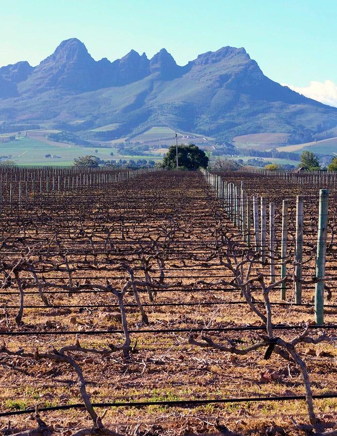 Rota dos vinhos na África do Sul vineyard